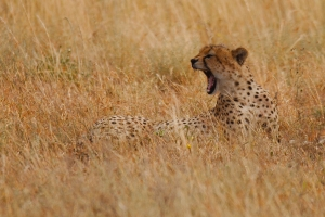 Cheetah in Kidepo