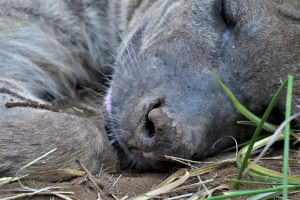 cluse-up slapende hyena