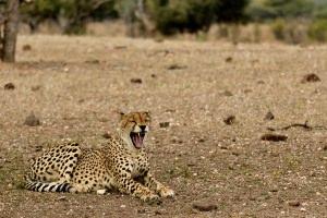 gapende cheetah