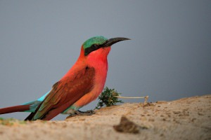 carmine bee-eater close-up