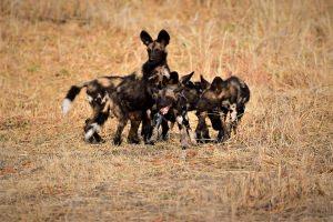 wilde honden puppy's willen eten afpakken