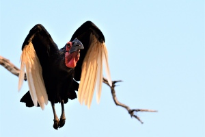 vliegende ground hornbill