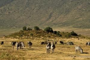 zebra's in Ngorongoro krater