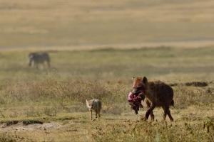 hyena met buit
