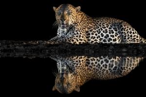 luipaard in de nacht bij fotohut