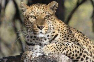 luipaard BIG-5