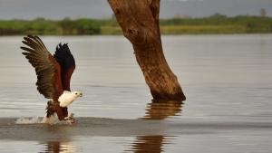 Fish eagle op jacht naar vis