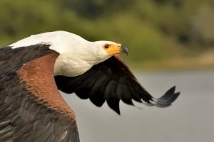 Fish eagle vliegend close-up