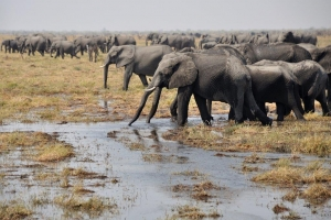 Olifanten volop in Botswana