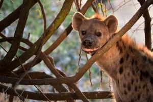 Hyena in zon
