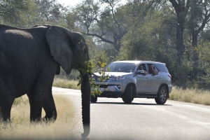 Overstekend wild (olifant)