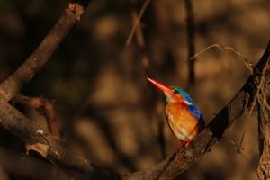 National Park Selous / Nyrere - Malachite kingfisher