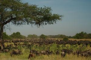 National Park Serengeti - jaarlijkse migratie / grote trek