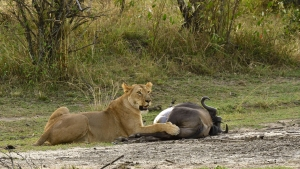 National Park Serengeti - leeuwin met prooi