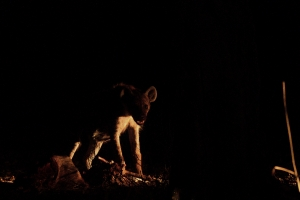 Zambia - Hyena in de nacht met prooi