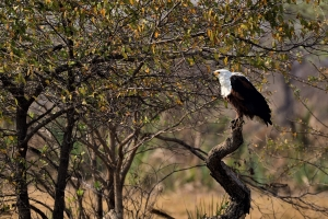 Zambia - fisheagle